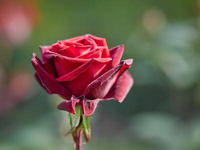 Rose Barkarole