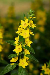 Yellow Loosestrife 2