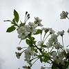 Kirsikan kukinnot - Cherry Bossoms