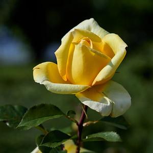 Golden Tower rose