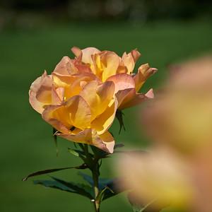 Rose Morden Sunrise