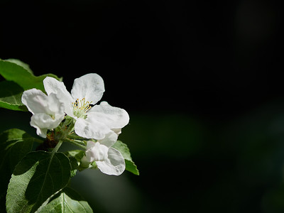 Apple flowers 11