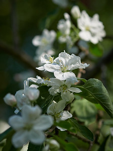 Apple flowers 10