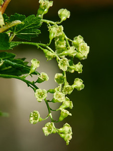 White currant flowers