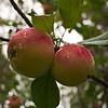 """Omena """"punakaneli"""" ((Malus domestica) - Apple """"punakaneli"""""""