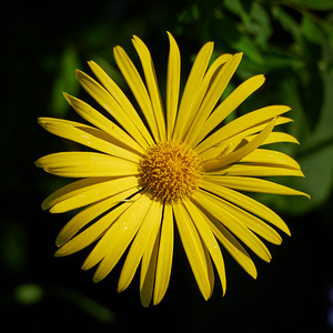 Leopards Bane
