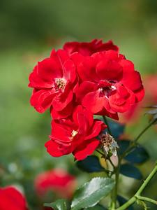 Rose Austiana