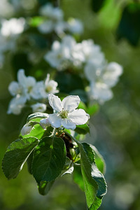 Apple flowers 4