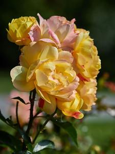 Rose Lampion
