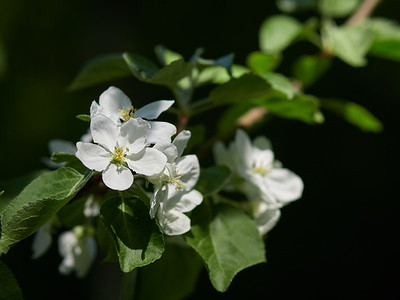 Apple flowers 19