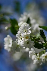 Cherry flowers 3