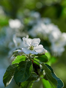 Apple flowers 6