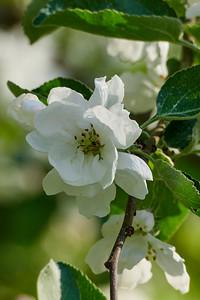 Apple flowers