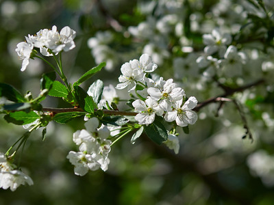 Cherry flowers 1