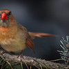 juvenile Northern Cardinal (female)