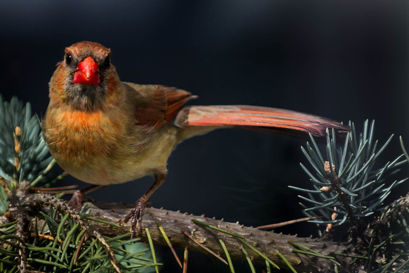 The stare-down from a juvenile Northern Cardinal girl