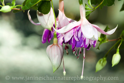 Blueberry Fizz trailing fuchsia.