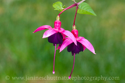 Beau Dean Richard upright fuchsia.