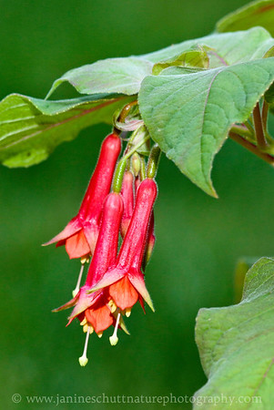 Speciosa upright fuchsia.