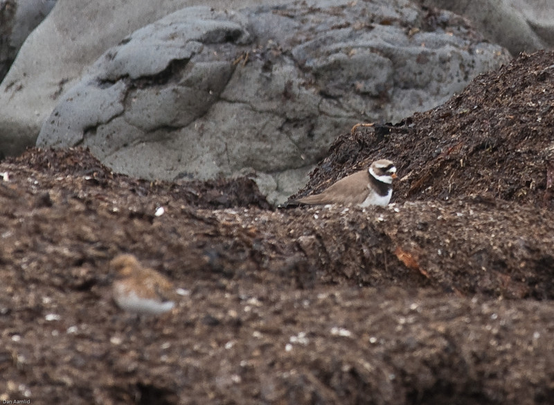 Sandlo (Charadrius hiaticula) og Sandløper (uskarp foran)