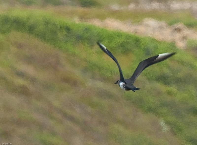 Tyvjo (Stercorarius parasiticus), Island, 2009