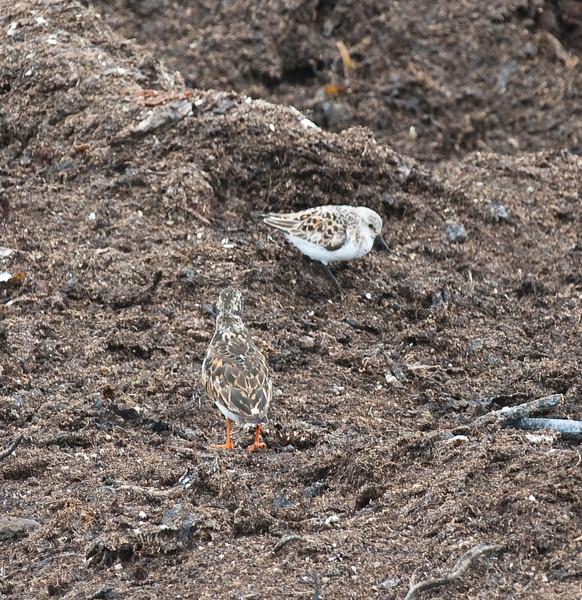Sandløper (Calidris alba) og Sateinvender (Arenaria interpres) - foran