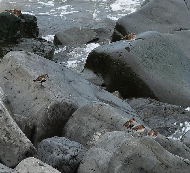Myrsnipe (Calidris alpina), Island 2009