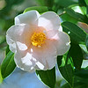 Pale Pink Camellia 177a