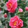 Camellias and Buds 322