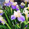 Bearded Iris Flowers