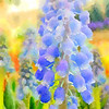 Grape Hyacinth 2