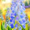 Grape Hyacinth 2