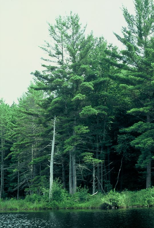 Some trees taken from canoe