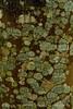 Lichen, Acadia NP ME (3)