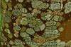 Lichen, Acadia NP ME (1)