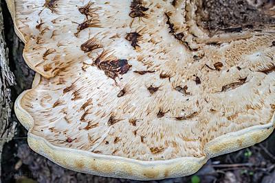 Scaly Polypore Fungi