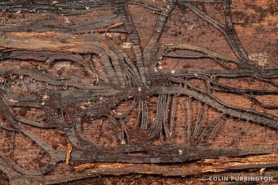 Honey mushroom rhizomorphs