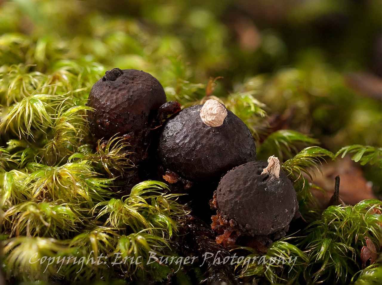 Calostoma rodwayi - A common puffball found in beech forests. A 5 photo stack, twin flash.