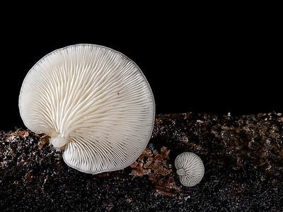 Oudemansiella australis or Crepidotus sp.?
