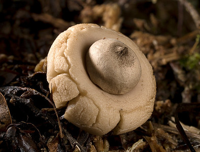 Earth Star (Geastrum saccatum)
