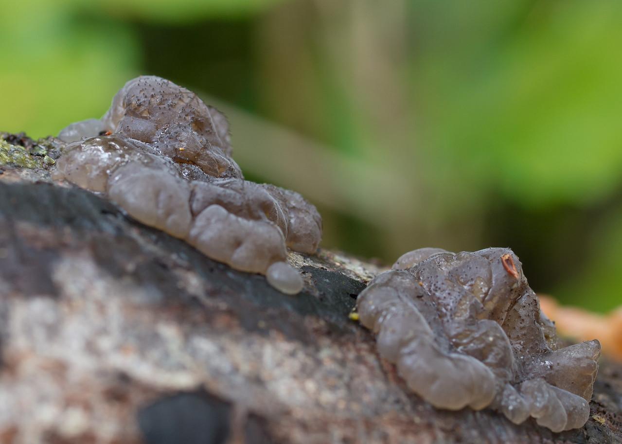 Basidiodendron minutisporum