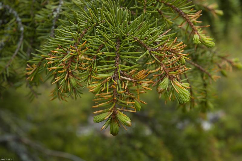 Granrustsopp, Chrysomyxa abietis