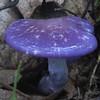Viscid Violet Cort (Cortinarius iodes)