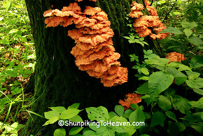 Chicken of the Woods (Sulphur Shelf) Mushroom,  Sauk County, Wisconsin