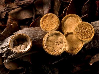 Birdnest Fungus