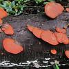 Cinnabar-red Polypore (Pycnoporus cinnabarinus)