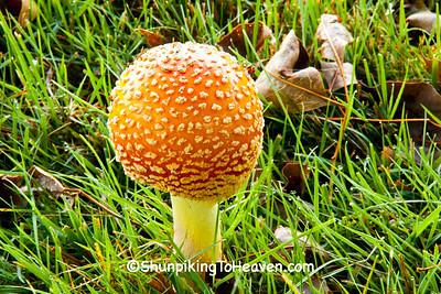Fly Agaric Mushroom, Dane County, Wisconsin