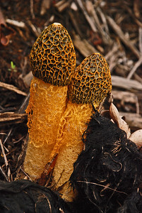 Dictyophora duplicata, the veiled stinkhorn or the netted stinkhorn