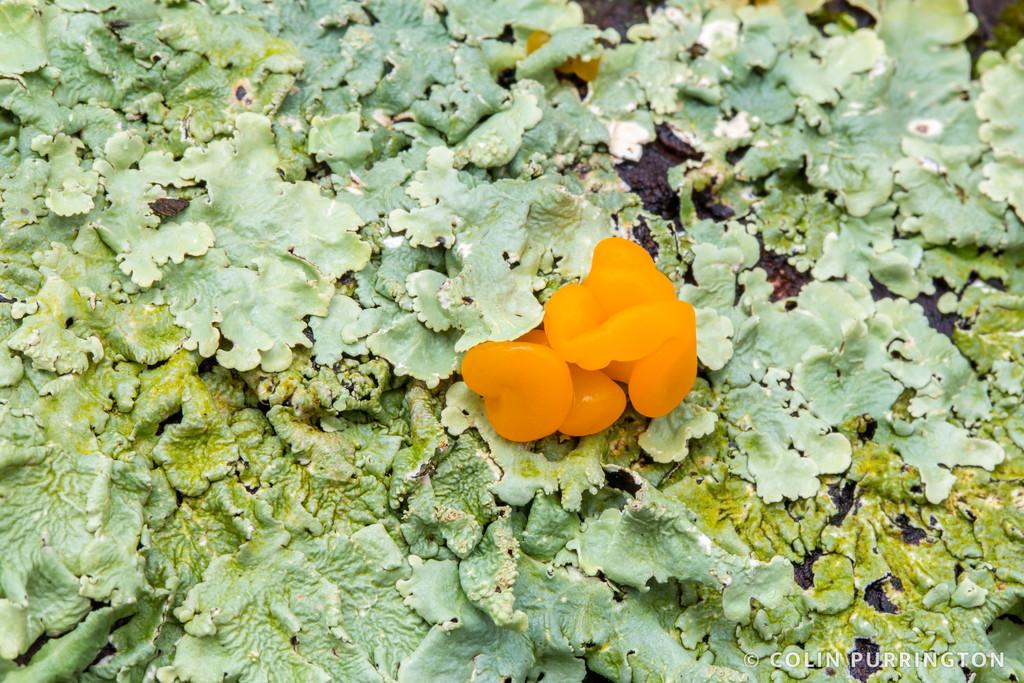 Orange jelly spot