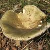 Variable Russula (Russula variata)
